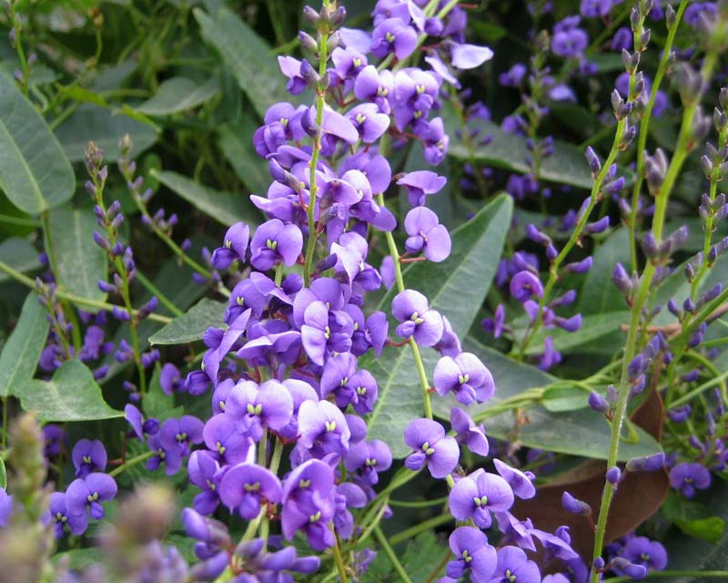 Hardenbergia violacea Happy Wanderer