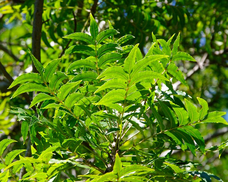 Compound leaves at the branch tips - Kaffir Plum - Harpephyllum caffrum