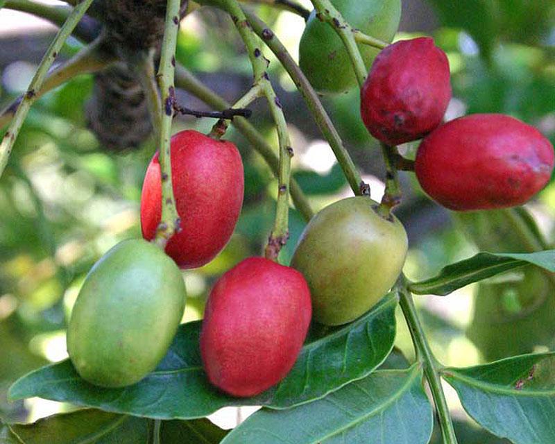 Harpephyllum caffrum - immature green fruit ripen to bright red