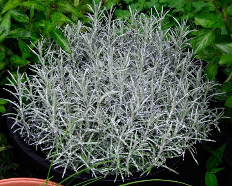 Gardensonline Helichrysum Italicum Syn H Serotinum Subsp
