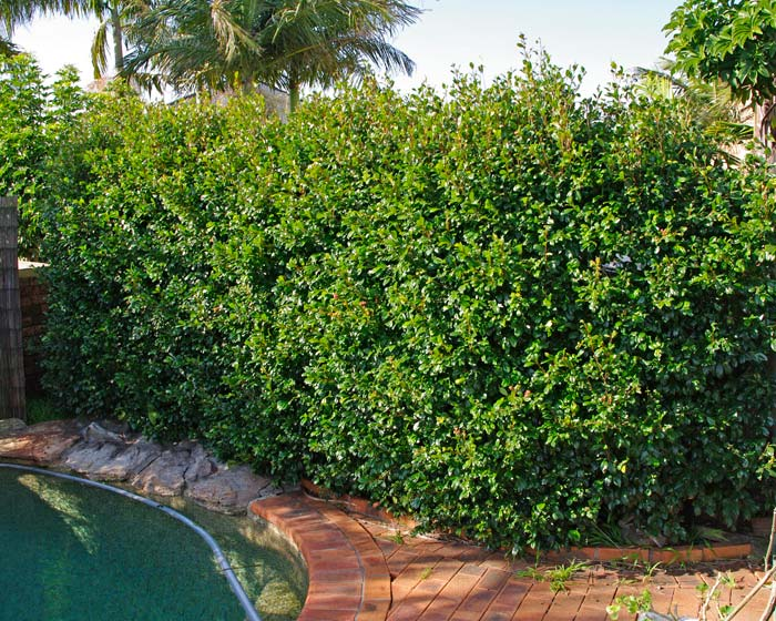 Gardensonline syzygium australe for Lilly pilly shrub