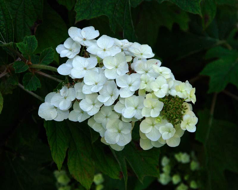 Hydrangea Quercifolia - Oak Leaved Hydrangea