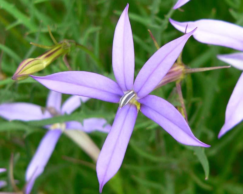 Gardensonline Isotoma Axillaris Syn Laurentia Axillaris