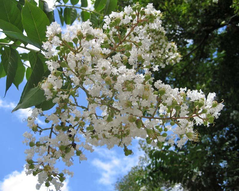 Gardensonline Lagerstroemia Indica X Fauriei Natchez