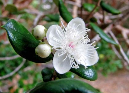 Luma apiculata - cup shaped white flowers - photo by Guillermo Murno