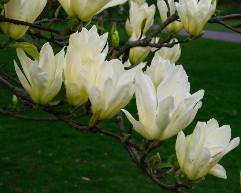 Gardensonline Magnolia X Brooklynensis Elizabeth