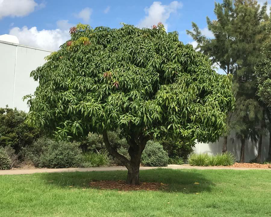 Magnifera indica, Mango Tree