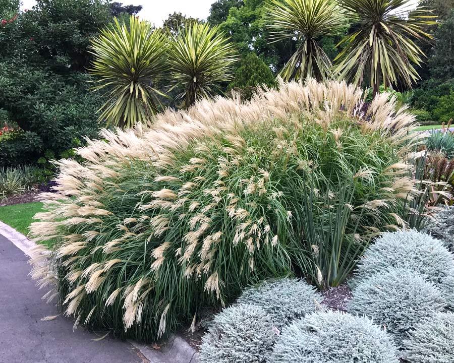 Miscanthus sinensis sp- Melbourne Botanic Gardens