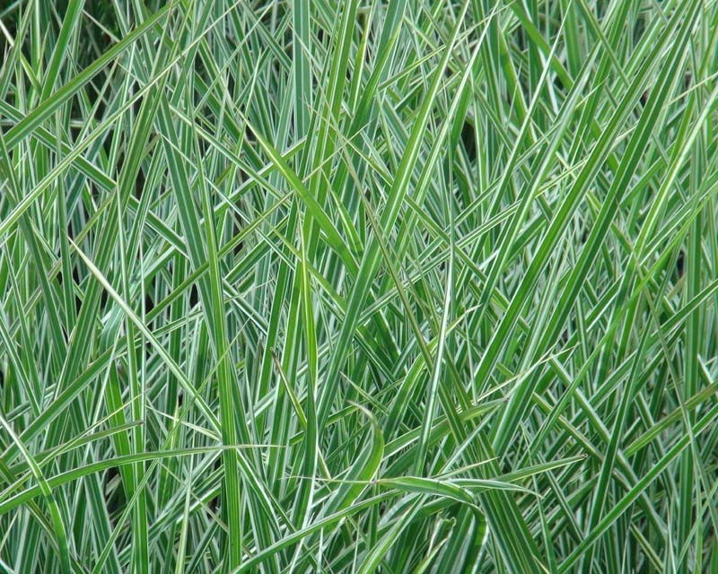 Miscanthus sinensis Morning Light - variegated white and green grass-like blades