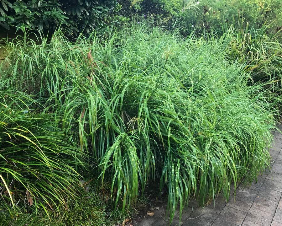Miscanthus sinensis Zebrinus - Sword shape leaves with horizontal yellow stripes