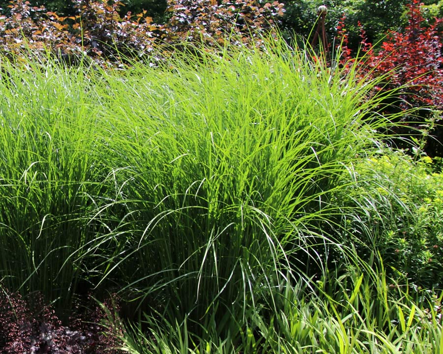 Miscanthus sinensis Gracillimus - tall clumps with slender arching foliage
