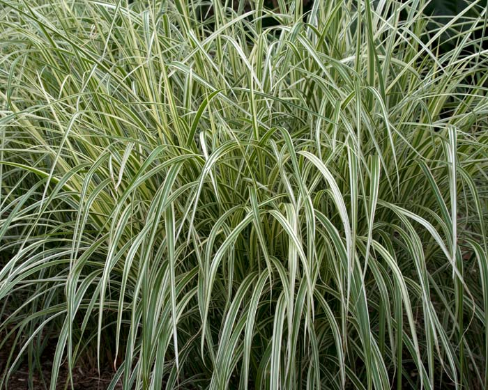 Miscanthus sinensis - a variegated variety