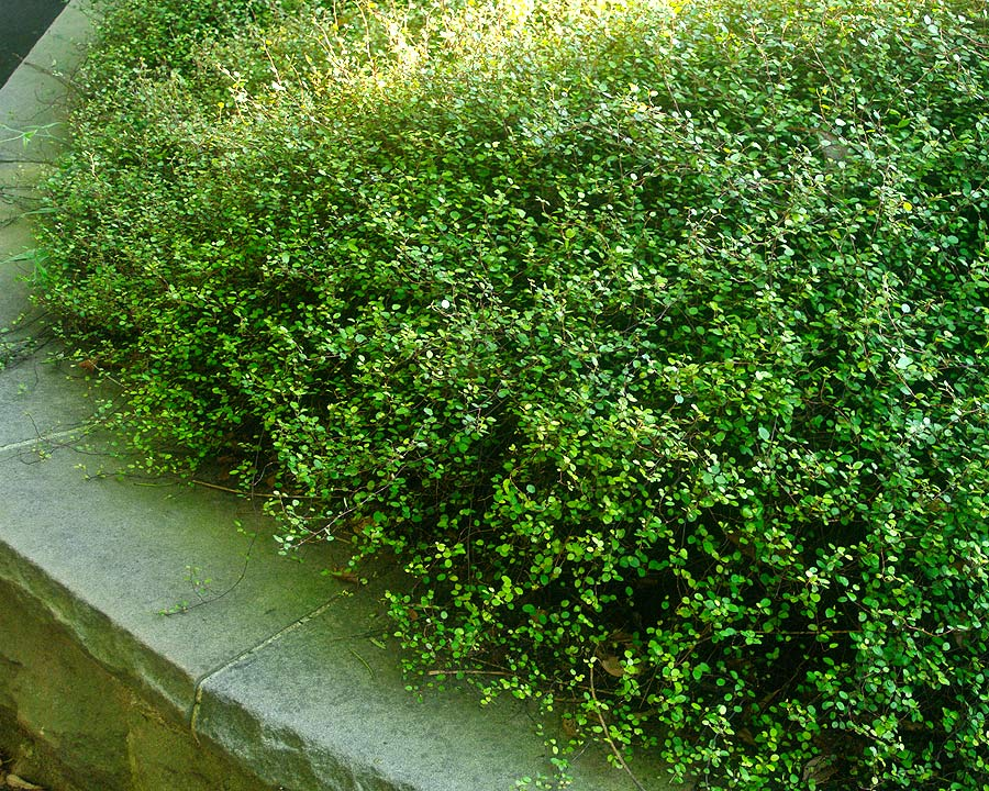 Muehlenbeckia complexa - has a scrambling habit. Grown successfully as ground cover under trees