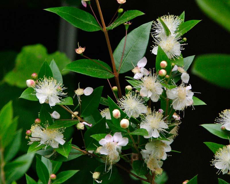 Myrtus communis, the Common Myrtle