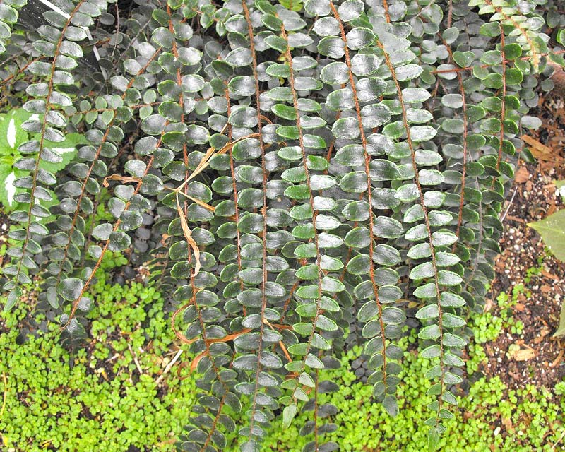 Pellaea rotundifolia - Button Fern - photo by Stickpen