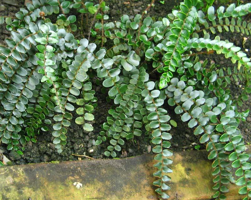 Pellaea rotundifolia  - photo kembangraps