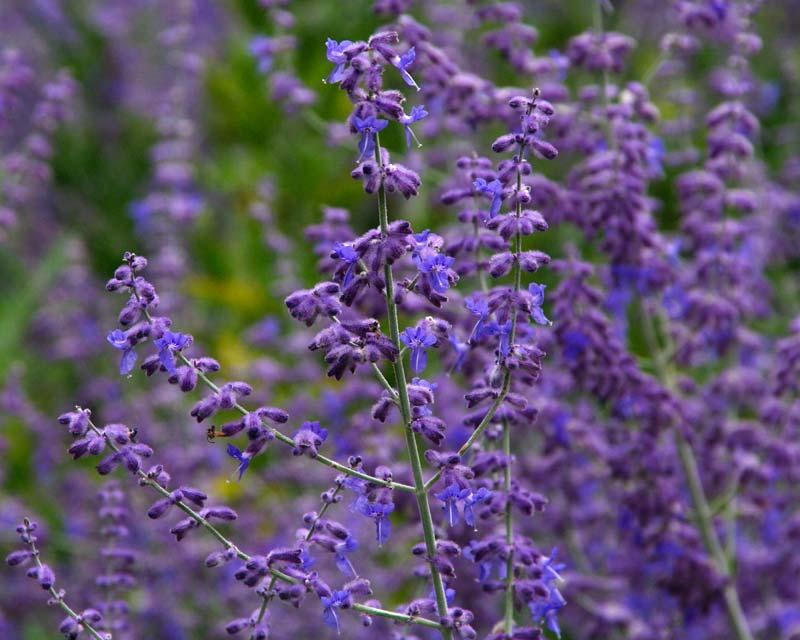 Perovskia atriplicifolia Russian Sage - panicles of lavender flowers.