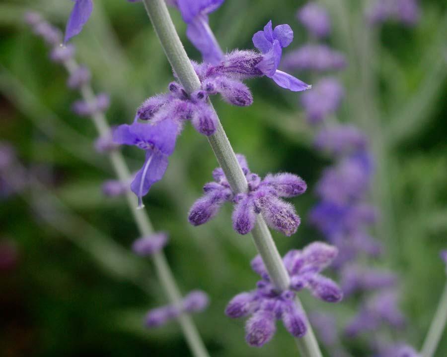 Perovskia 'Blue Sprie' Whorls of lavender blue flowers and buds
