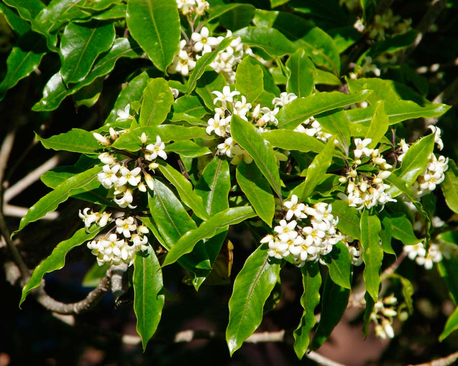Pittosporum undulatum - Fragrant spring flowers