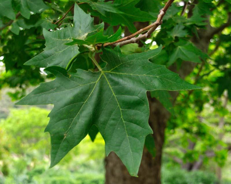 Gardensonline Platanus X Hybrida