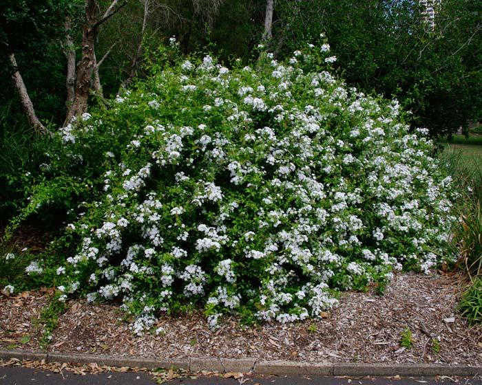 Gardensonline Plumbago Auriculata Alba