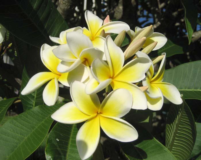 Plumeria acutifolia - Frangipani