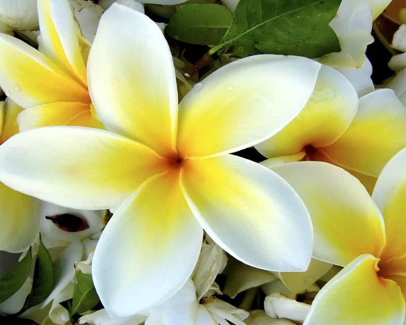Gardensonline plumeria acutifolia stunning flowers last all summer long mightylinksfo