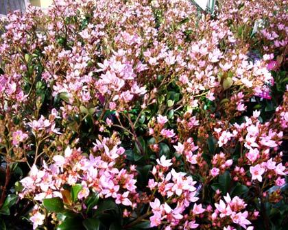 Rhaphiolepis 'Apple Blossom'