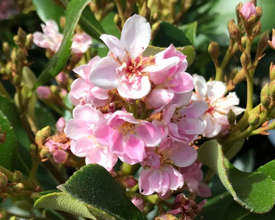 Rhaphiolepis 'Springtime'