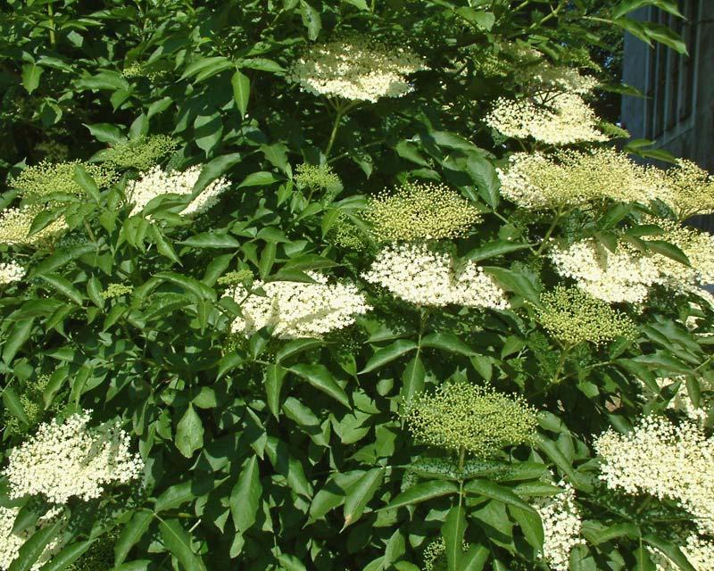 Elderflower, Sambucus nigra Flowers