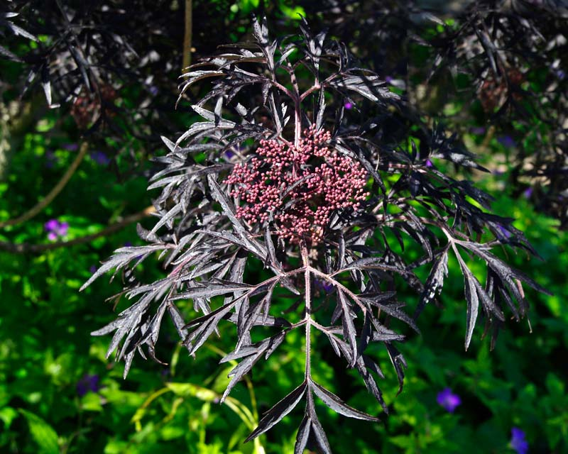 The purple black leaves of Black Lace Elder - Sambucus Nigra Eva