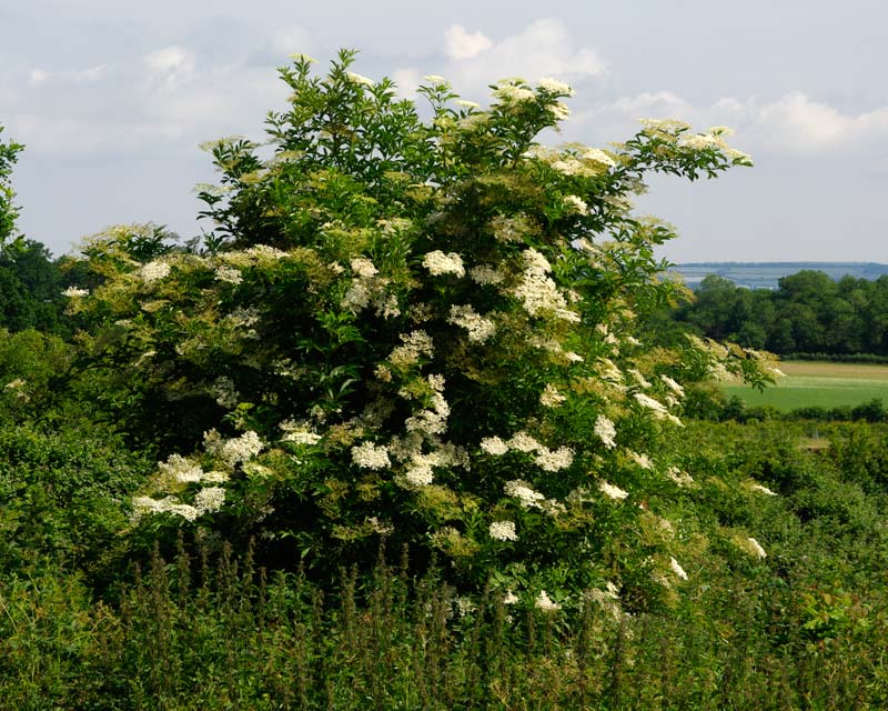 Sambucus nigra - Elderflower in bloom