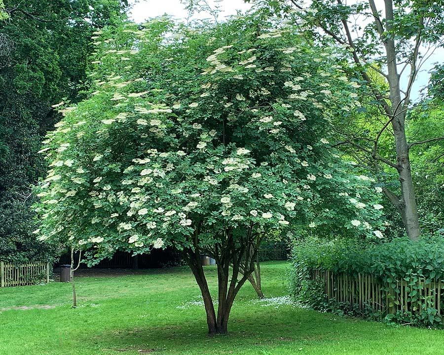 Sambucus nigra, Elderflower