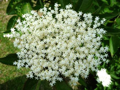 Sambucus nigra, sometimes referred to as Sambucus canadensis, the Elderberry