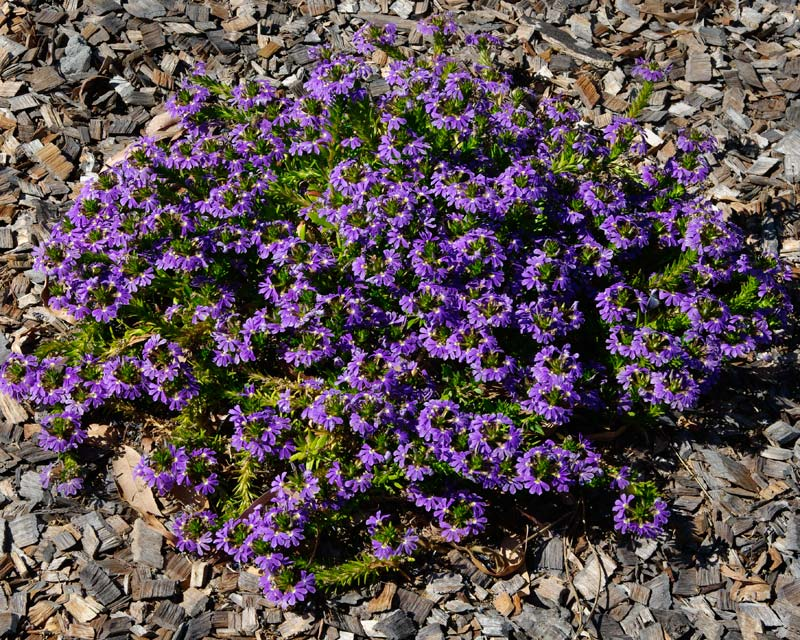Scaevola aemula or Fairy Fan Flower
