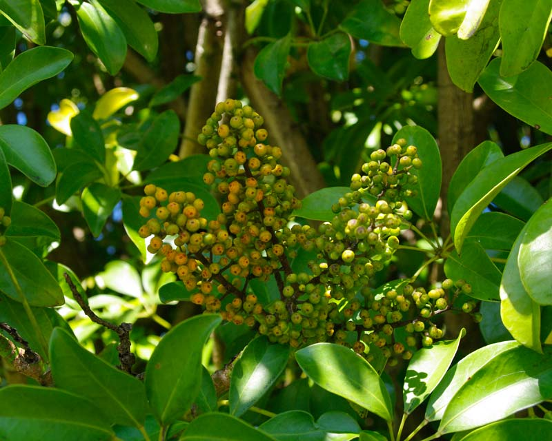 Schefflera arboricola - panicles of fruit turn from green to orange as they ripen
