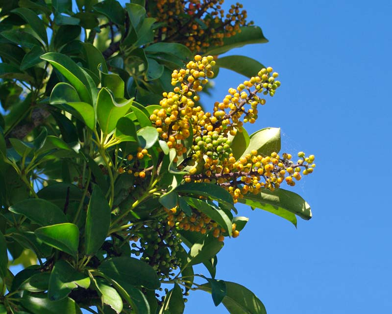 Schefflera arboricola - Minature Queensland Umbrella Tree - panicles of orange fruit