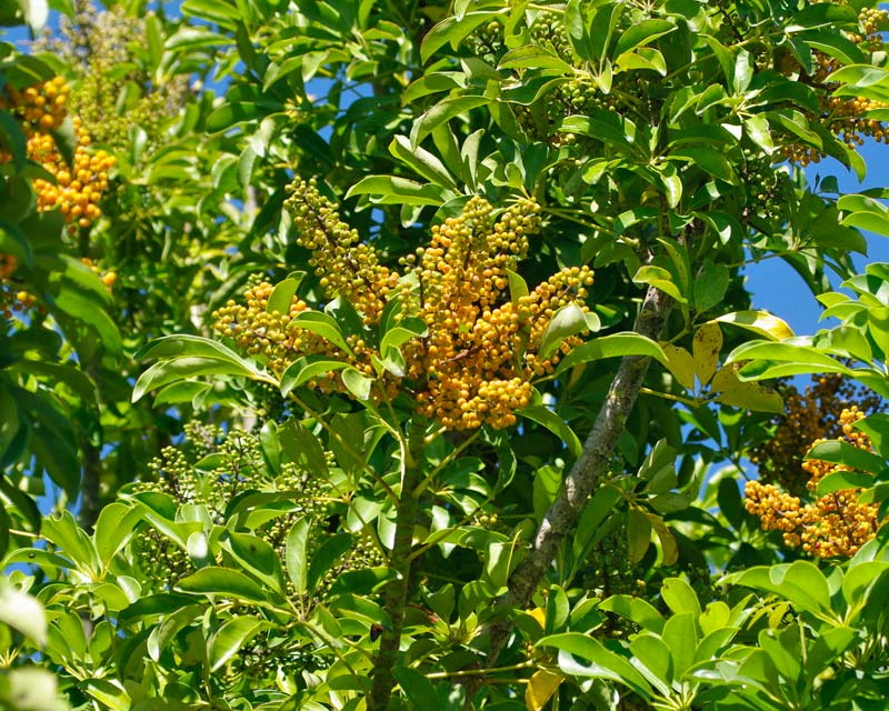 Schefflera arboricola - Orange coloured fruit in early summer