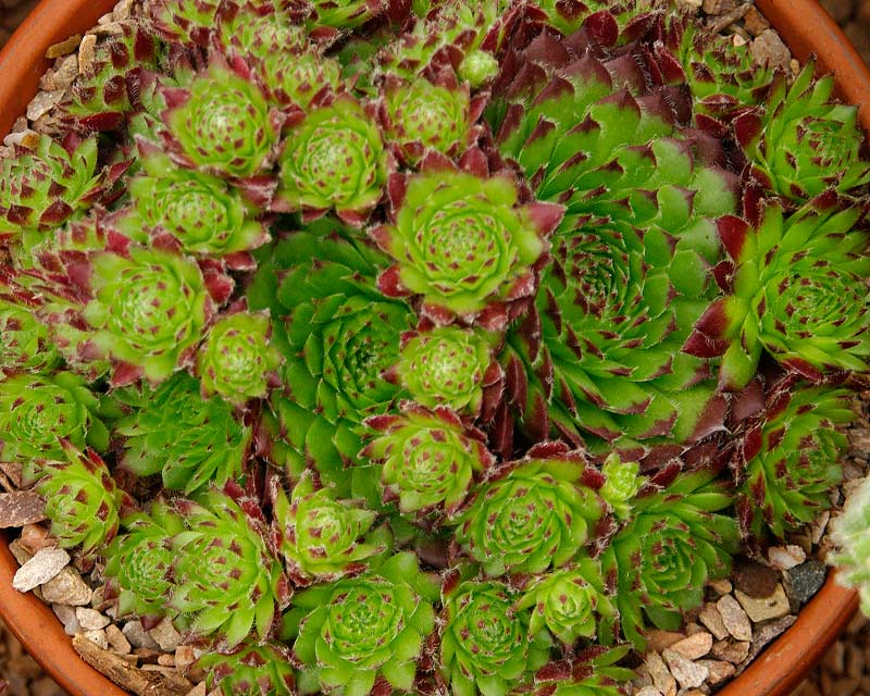 Sempervivum Green Dragon