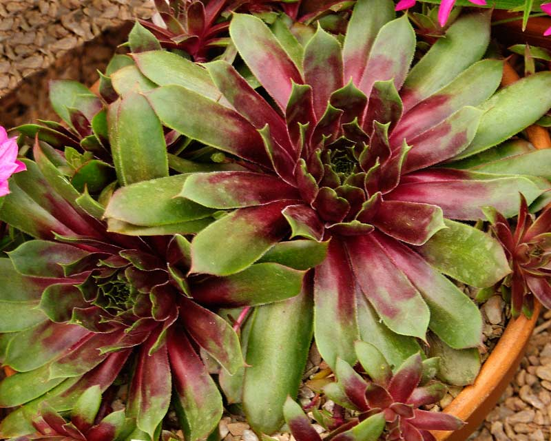 Sempervivum Purple Dazzler