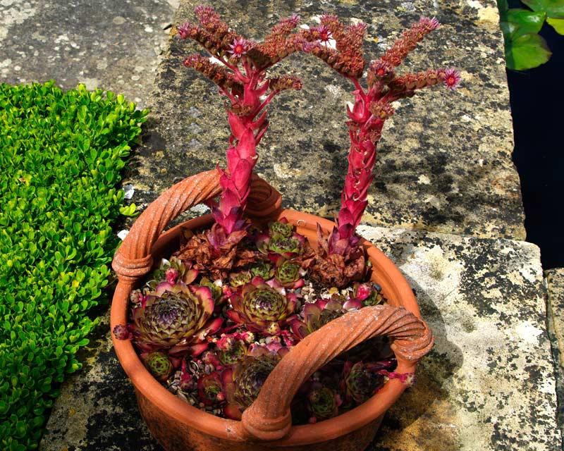 Sempervivum tectorium transcaucasium