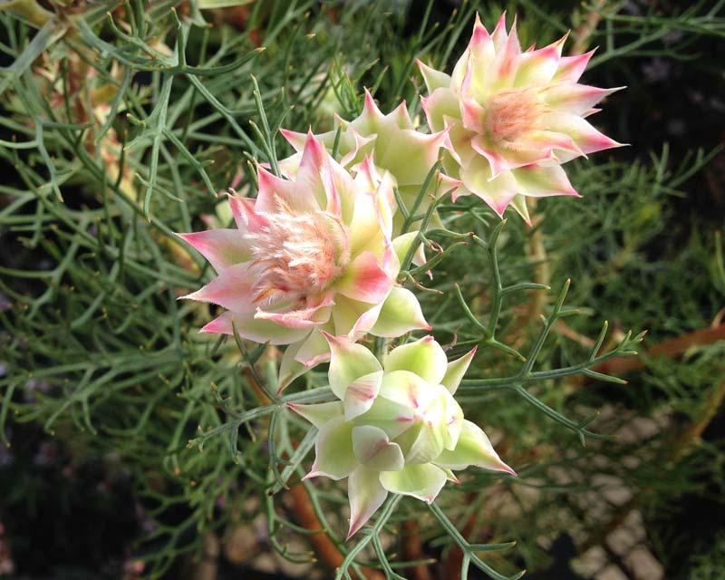 Gardensonline Serruria Florida