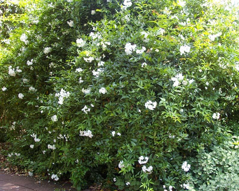 Gardensonline Solanum Jasminoides Syn Solanum Laxum