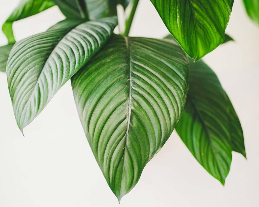 Spathyphyllum 'Sensation'