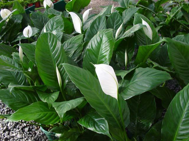Spathiphyllum wallsii