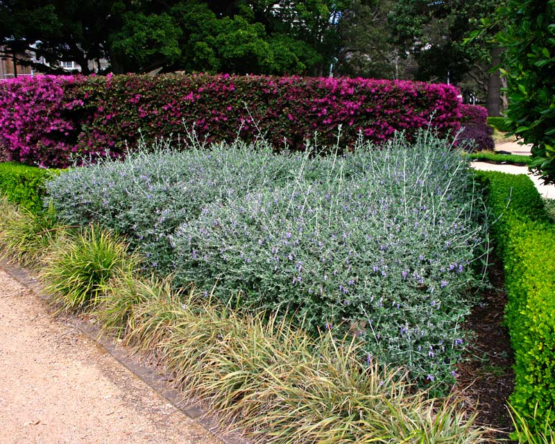 The grey foliage of Teucrium fruticans used here as a contrast to the deep pink flowers of Loropetalum chinense, the vibrant green of Buxus and paler grass-line foliage