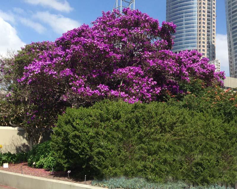 Tibouchina in Sydney Botanic Gardens