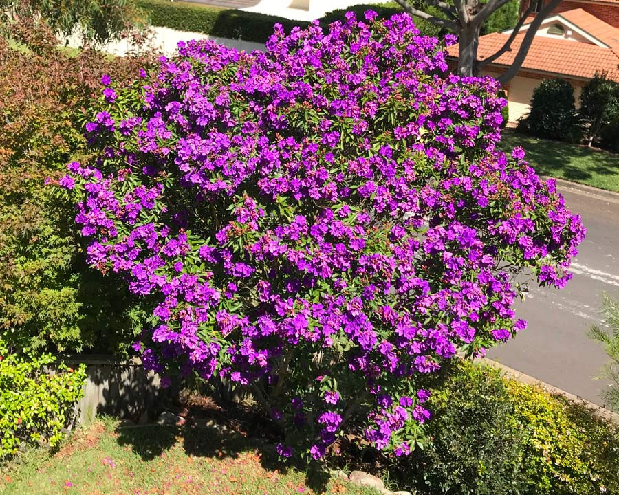 Tibouchina lepidota Alstonvile - Mass of purple flowers in late summer and early autumn