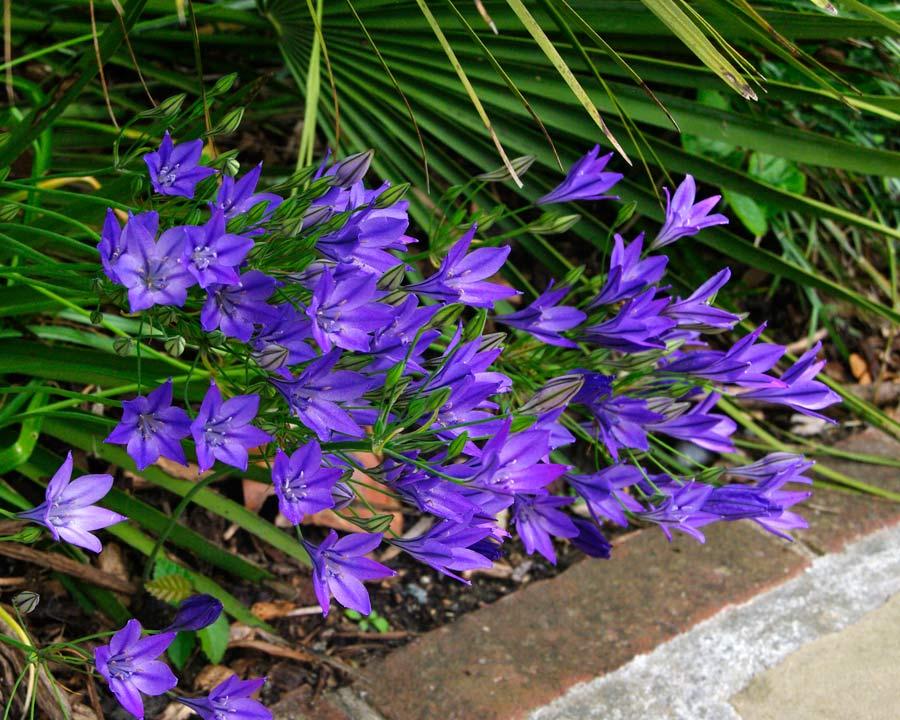 Triteleia laxa hybrid 'Koningin Fabiola' deep blue purple flowers
