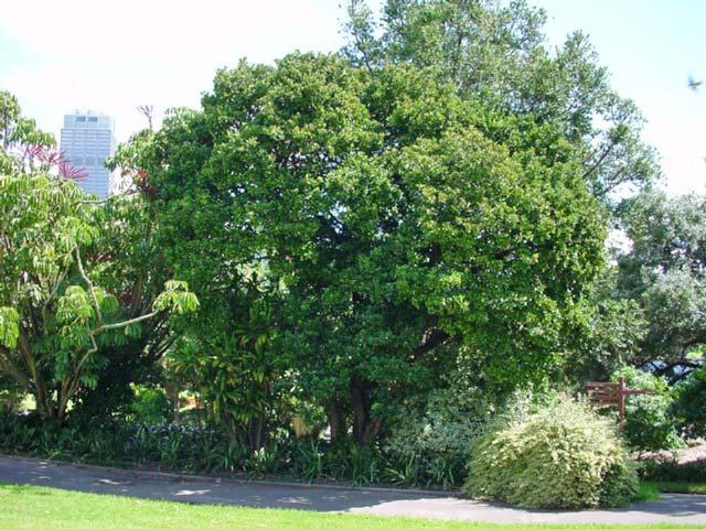Gardensonline Viburnum Odoratissimum